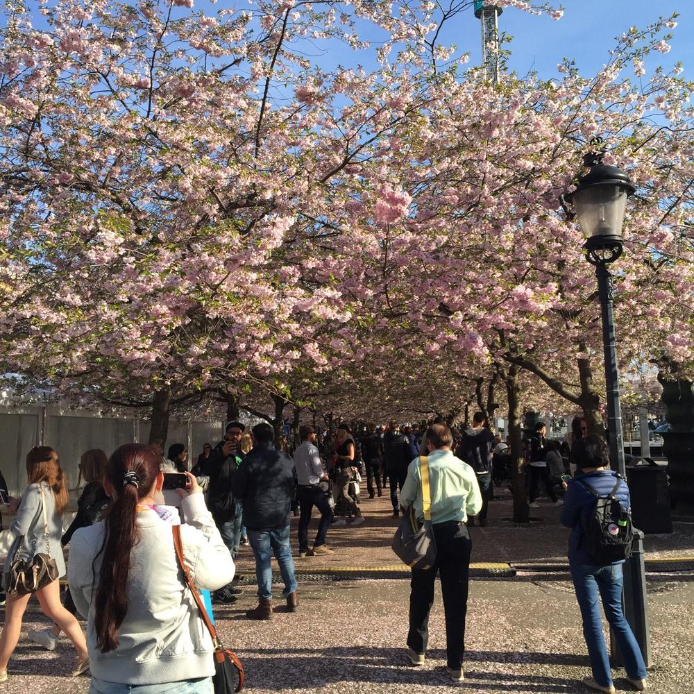 Wunderschöne Kirschblüten in King's Garden
