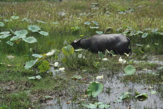 Entdeckt: Ein Wasserbüffel