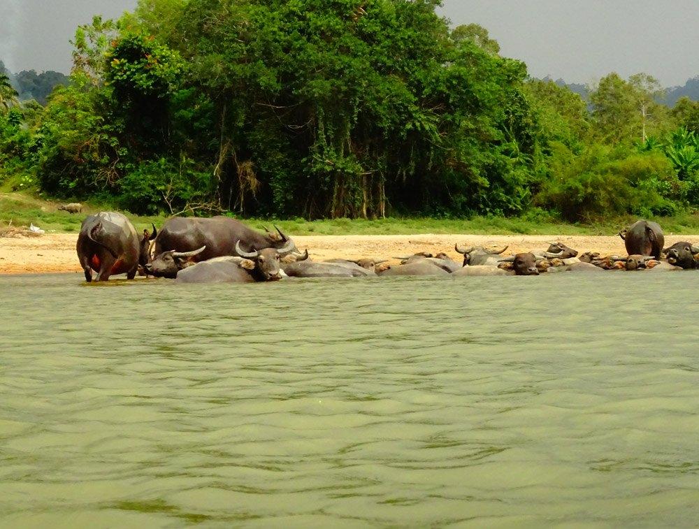 Auf der Bootsfahrt entdeckt: Wasserbüffel