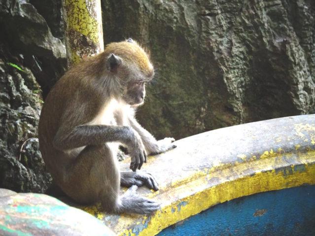 Bewohner der Batu Caves