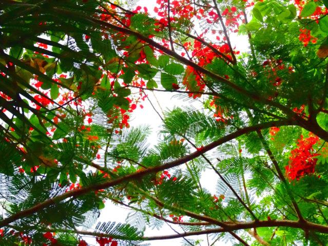 Blütenbaum Langkawi