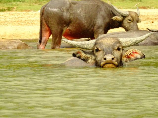 Gesichtet: Wasserbüffel am Fluss Sungai Tembeling