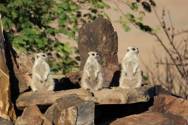 Alles im Blick: Erdhörnchen in Namibia