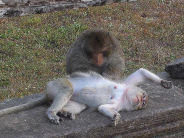 Die Affen lauern auf ihre Chance den unachtsamen Touristen etwas Essbares aus der Tasche zu ziehen