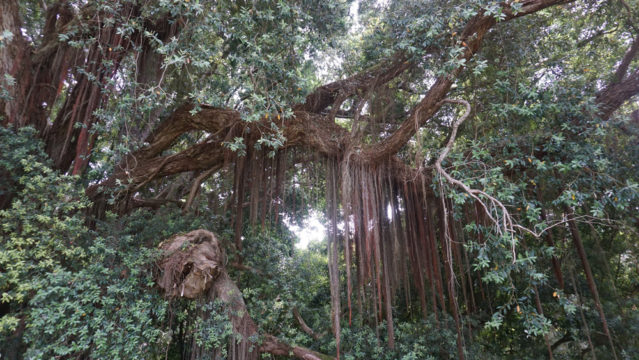 Zauberbäume im Parque de Monserrate