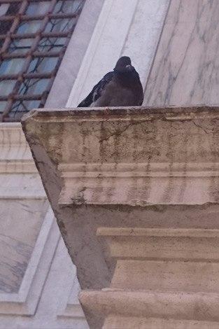 Taube in Venedig