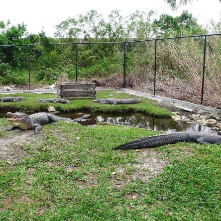 Im Park wimmelt es nur von Alligatoren