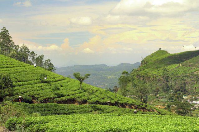 Wo die Kaffeebohnen wachsen? Auf Sri Lanka zum Besipiel