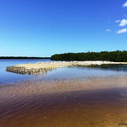 Hunderte von Pelikanen in freier Natur