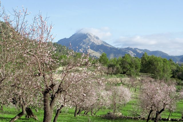 Wandern zur Mandelblüte auf Mallorca