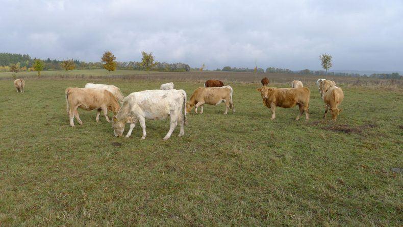 Kühe grasen im Harz