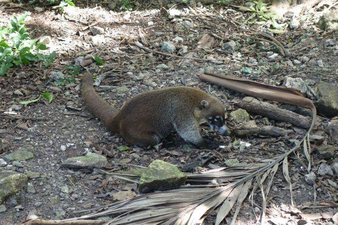 Ameisenbär in Tulum