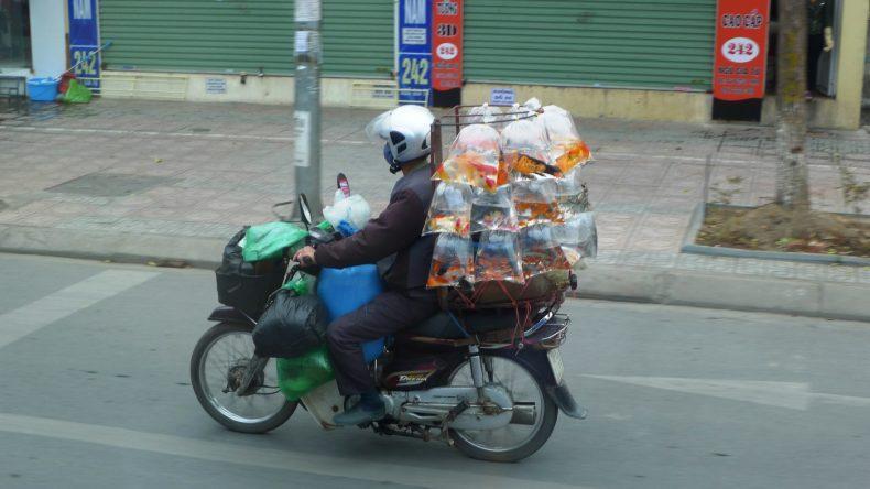 Ein Moped als Tiertransporter für Fische
