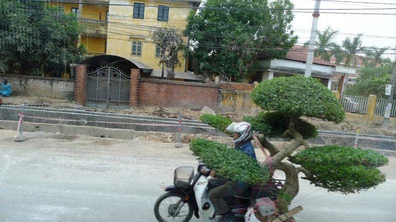 Mopedfahrer transportiert einen 1,50m Bonsai