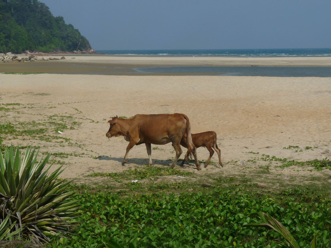 Kühe am Cherating Strand