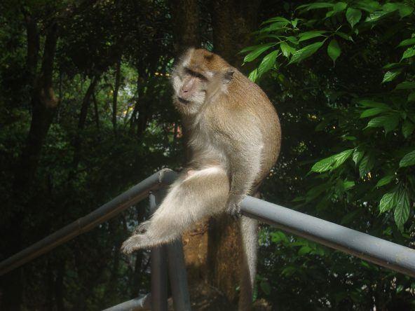 Affe auf Langkawi