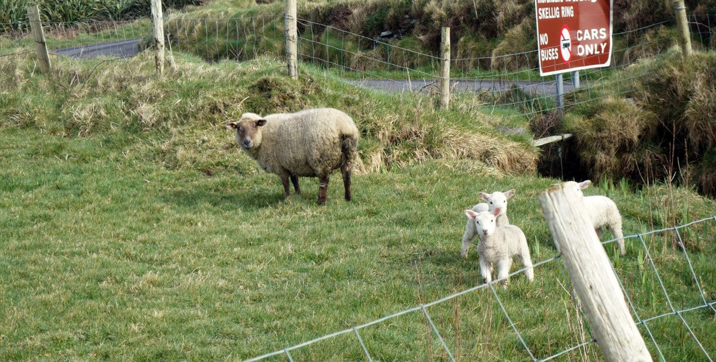 Lieben es auch grün: Schafe auf Valentia Island