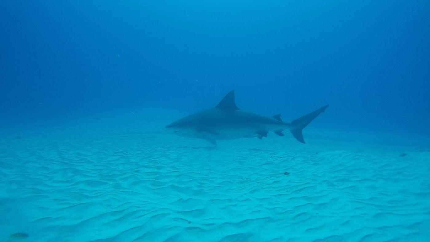 Auge in Auge mit dem Bullenhaie