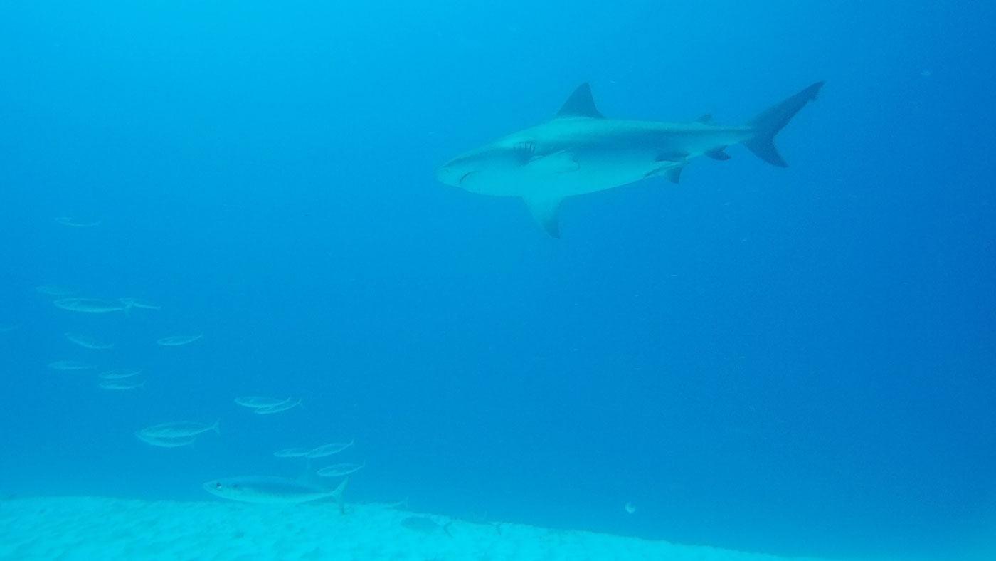 Bullenhaie am Meeresgrund