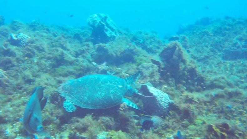 Echte Karettschildkröte auf Nahrungssuche