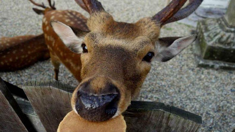 Rehe füttern im Nara Park