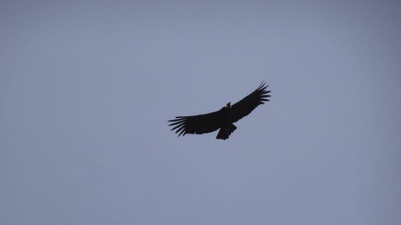 Peru, ein Condor in den Anden