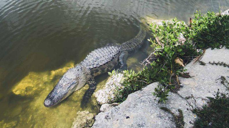 Viele Alligatoren liegen am Eingang des Everglades Nationalpark