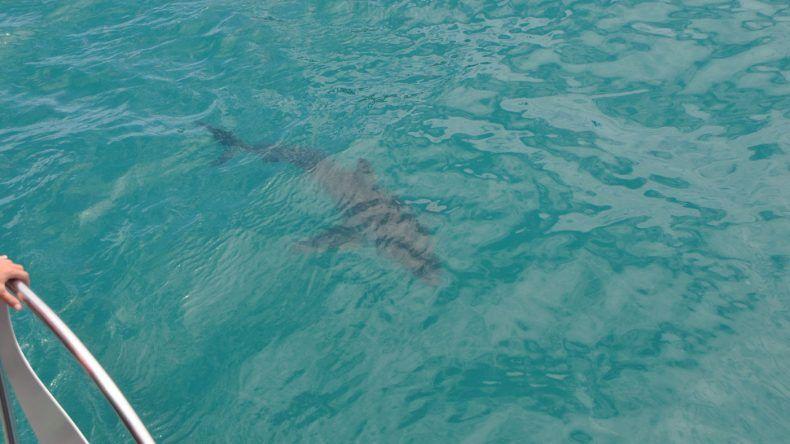 Weißer Hai im Wasser