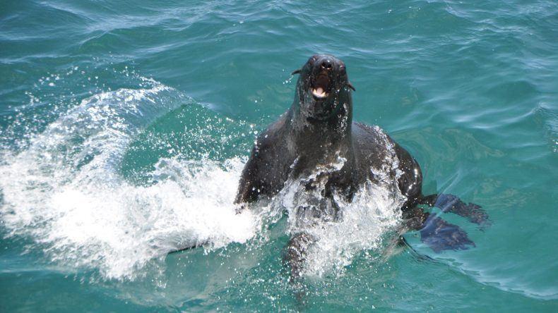 Robbe im Wasser in Südafrika