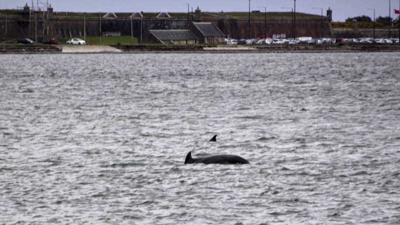 Delfine in Schottland