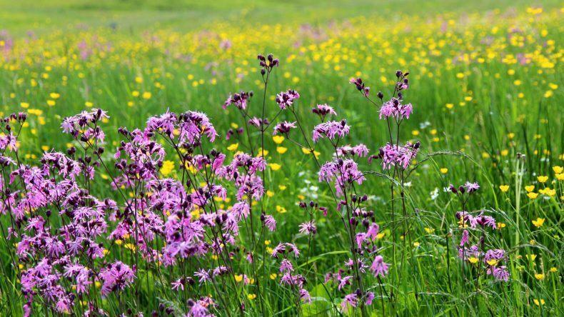 Farbenfroh: Duftende Blumenwiesen im Allgäu.