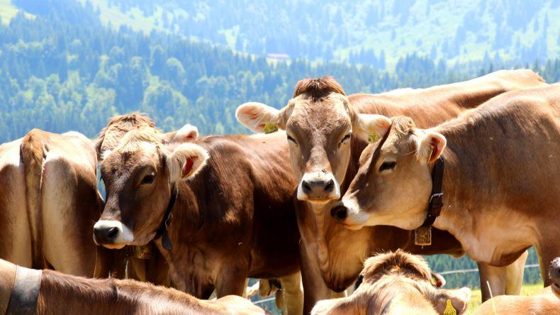Allgäuer Kühe mit Glocken