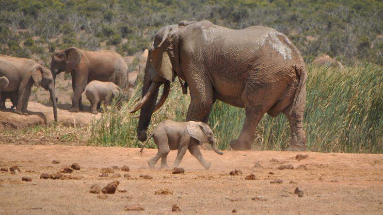 Minielefant