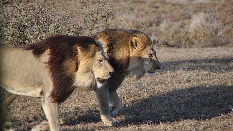 Löwen im Addo Elephant Park
