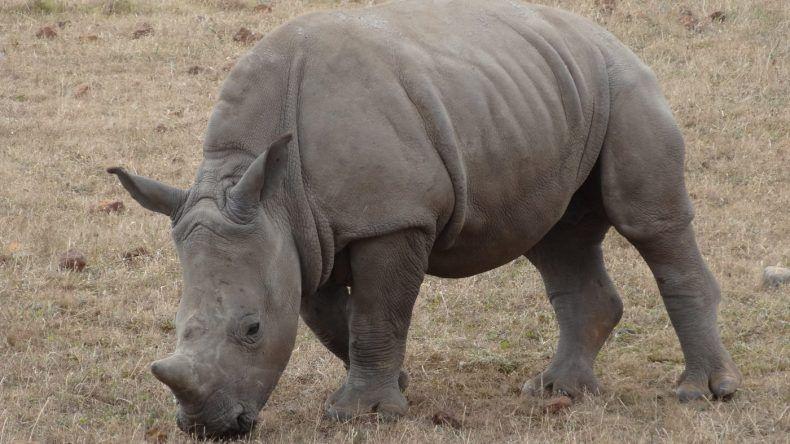 Wir sehen alle der Big Five: Nashorn