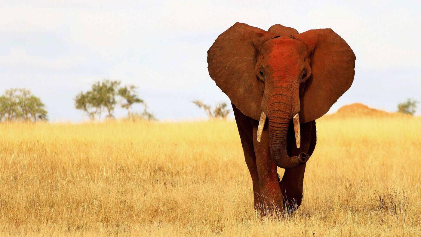 Elefantenrettung dank Chilis und Bienen