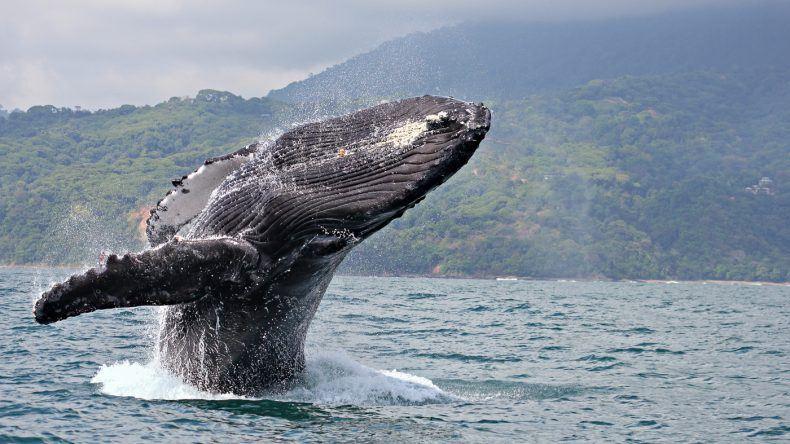 Buckelwale in Costa Rica (Shutterstock/Claude Huot)