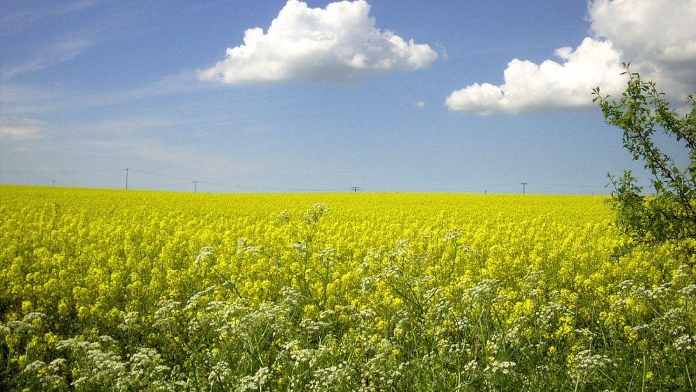 Gelbgold leuchtet der Raps im Frühling auf Rügen