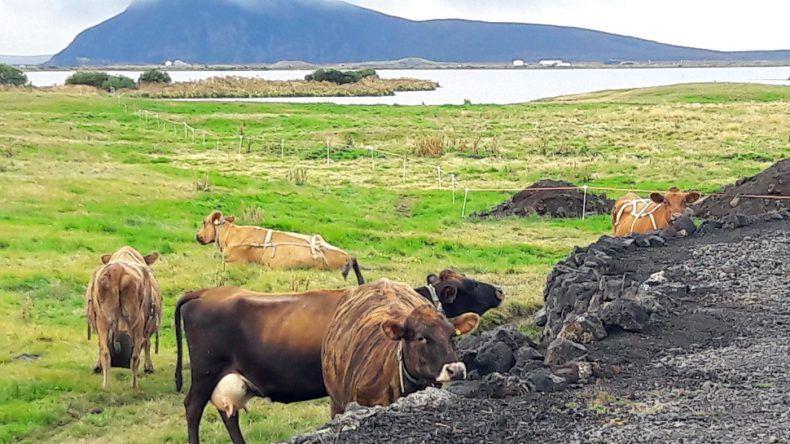 Kühe beim Cowshed Café