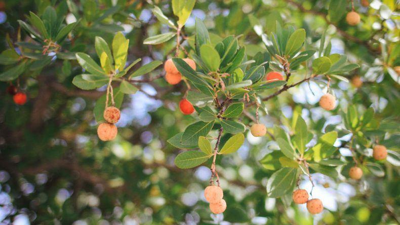 Erdbeerbaum aus dem der bekannte Medronho Schnaps gebrannt wird