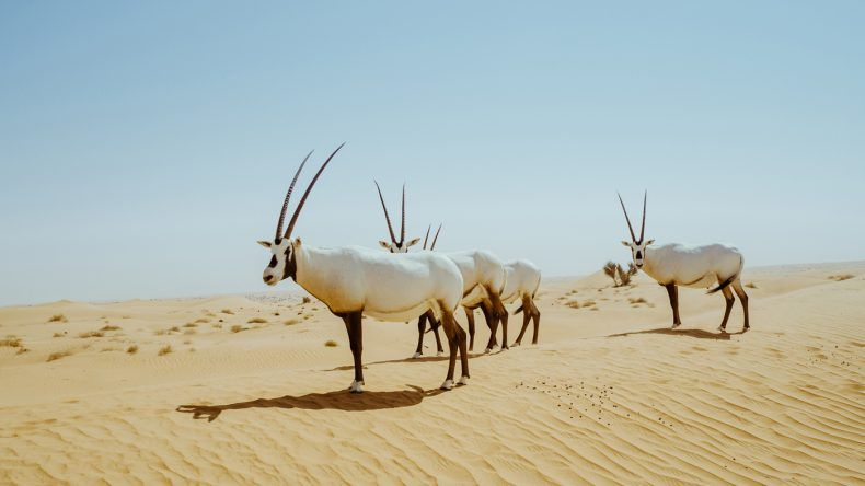 Ein Rudel Onyx-Antilopen.
