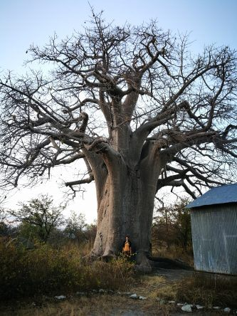 Ich vor einem riesigen Baobab Baum