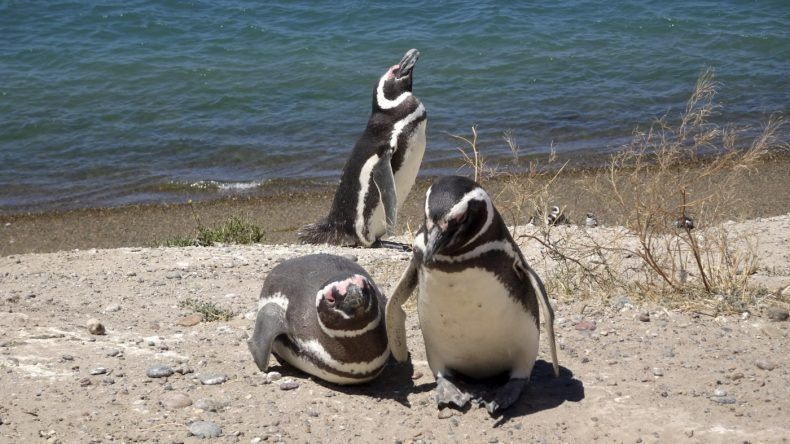 Valdes, Pinguine