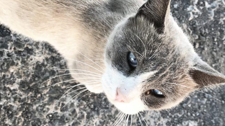 Kanarische Katze