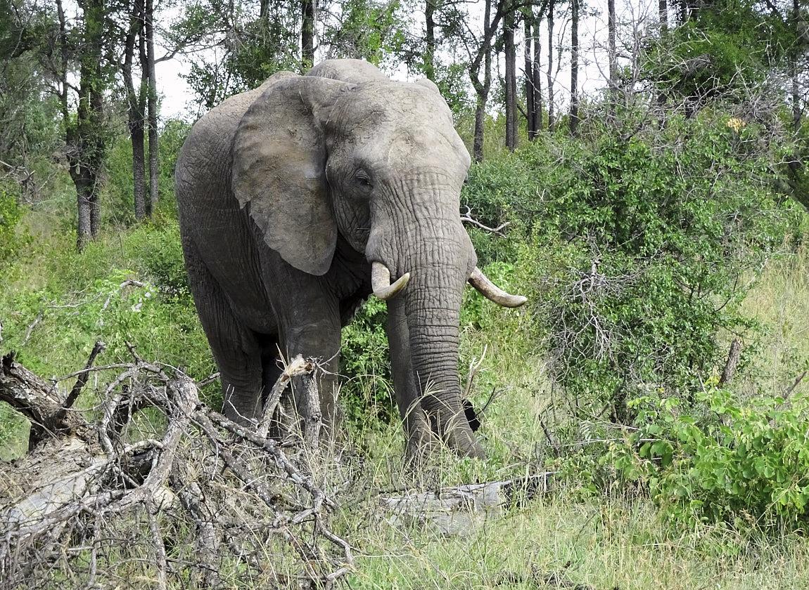 Suedafrika, Elefant