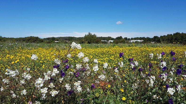Blumenwiese auf Ibiza