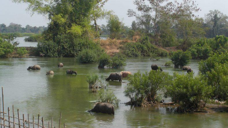 Auch die Büffelherde nimmt bei dem heißen Wetter ein Bad im Mekong
