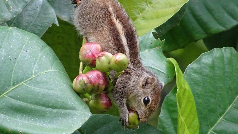 Eichhörnchen im Königlichen Botanischen Garten Peradeniya