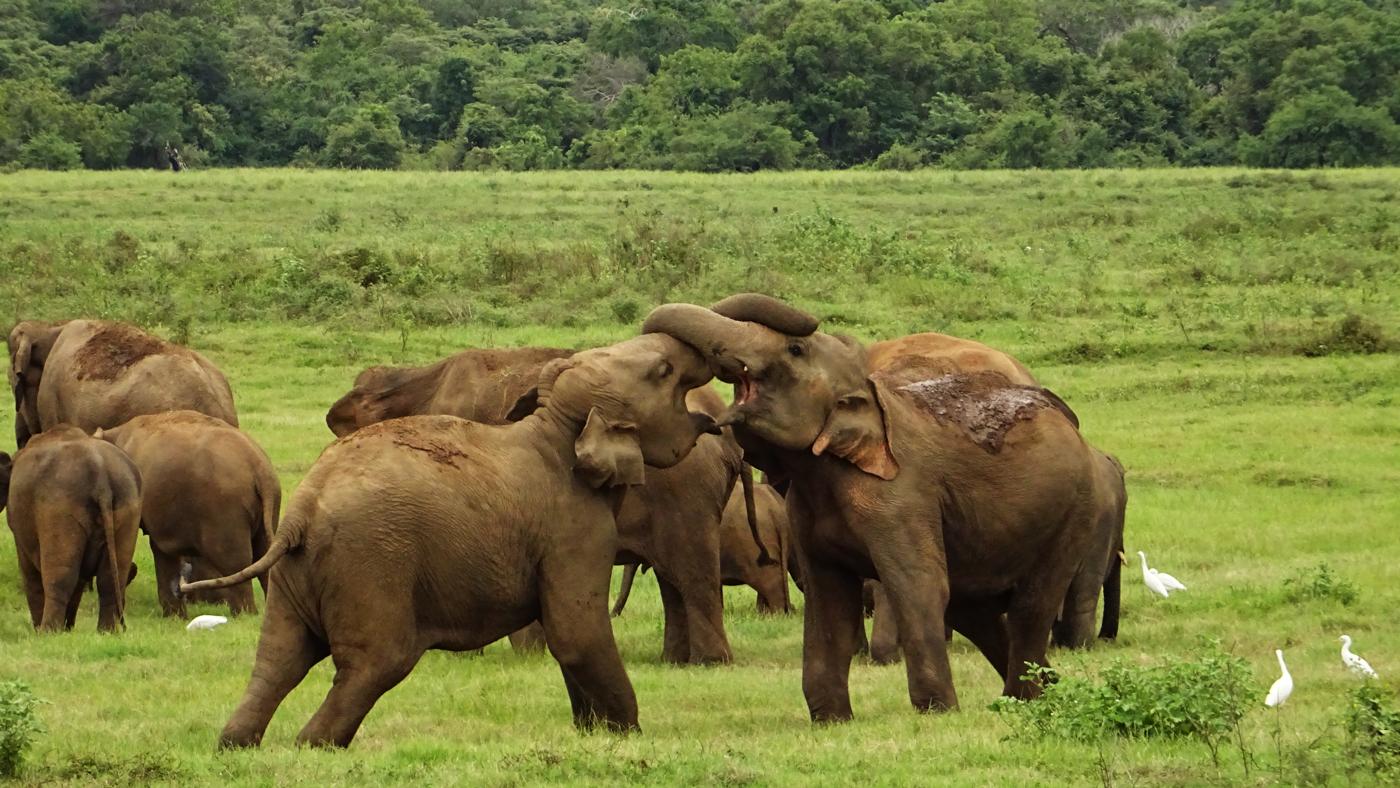 Elefanten im Kaudulla Nationalpark