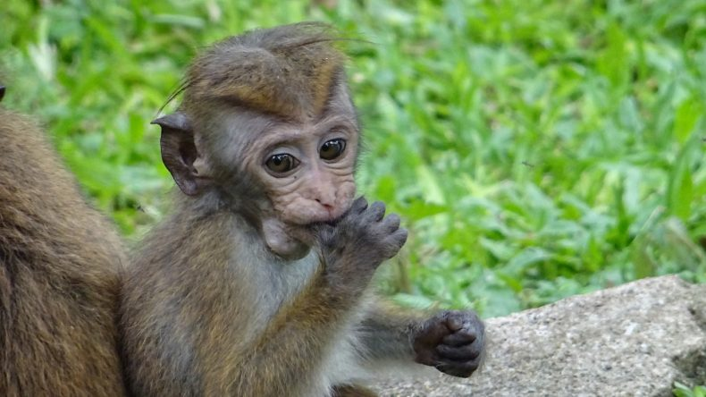 ... und ein Makake im Königlichen Botanischen Garten Peradeniya